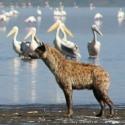 Hyena looking for a snack, Lake Nakuru NP, Kenya (2009)