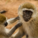Vervet monkey interaction, Nairobi NP, Kenya (2011)