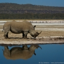White rhino reflection, Nakuru NP, Kenya (2009)