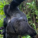 Who's the boss, Virunga NP, Rwanda (2007)