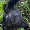 Who's the boss, Virunga NP, Rwanda (2007)