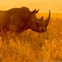 Backlit rhino, Nairobi NP, Kenya (2011)