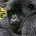 Young female mountain gorilla portrait, Virunga NP, Rwanda (2007)