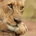 Contemplating lioness, Nairobi NP, Kenya (2011)