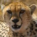 Cheetah portrait, Ngorongoro Crater, Tanzania (2005)