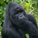 Pondering silverback, Virunga NP, Rwanda (2007)