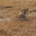 Resting cheetah, Ngorongoro Crater, Tanzania (2005)