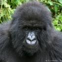 Female gorilla portrait, Virunga NP, Rwanda (2007)