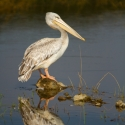 Pelican reflection, Lake Nakuru NP, Kenya (2011)