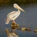 Pelican reflection, Lake Nakuru NP, Kenya (2011)