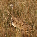 Black bellied bustard, Queen Elisabeth NP, Uganda (2006)
