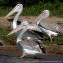 Pink backed pelicans, Queen Elisabeth NP (2006)