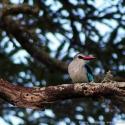 Woodland kingfisher, Akagera NP, Rwanda (2008)