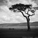 Duma scenery, Lemek Conservancy, Mara triangle, Kenya (2011)