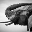 Elephant profile, Ruaha NP, Tanzania (2007)
