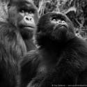 Dad keeps an eye, Virunga NP, Rwanda (2007)