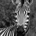 Zebra portrait, Ruaha NP, Tanzania (2007)