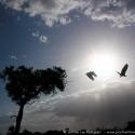 Backlit vulture take-off, Lemek Conservancy, Kenya (2011)