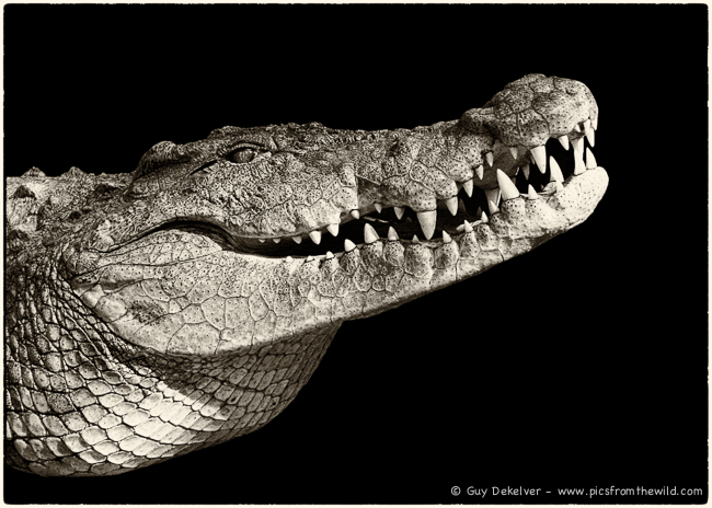Crocodile portrait, Bujumbura living museum, Burundi (2006)